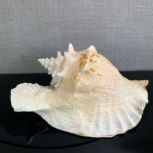 Lovely Conch Shell Horn Very Large Queen Conch